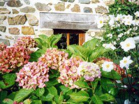 Hortensien vorm Fenster